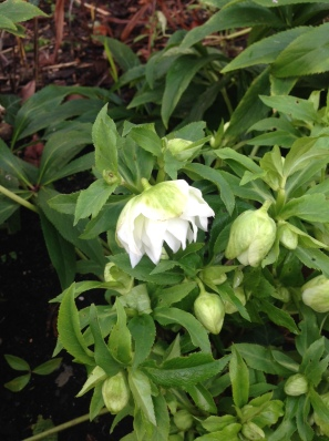 Double white hellebore Dec 2015