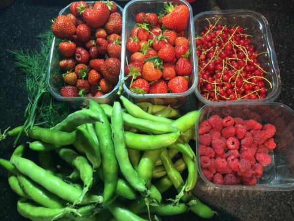 Allotment harvest mid-June