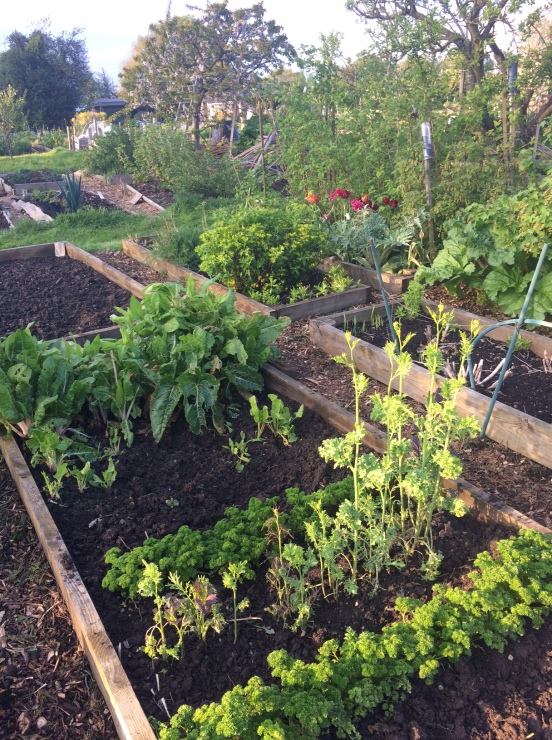 Allotment evening sun