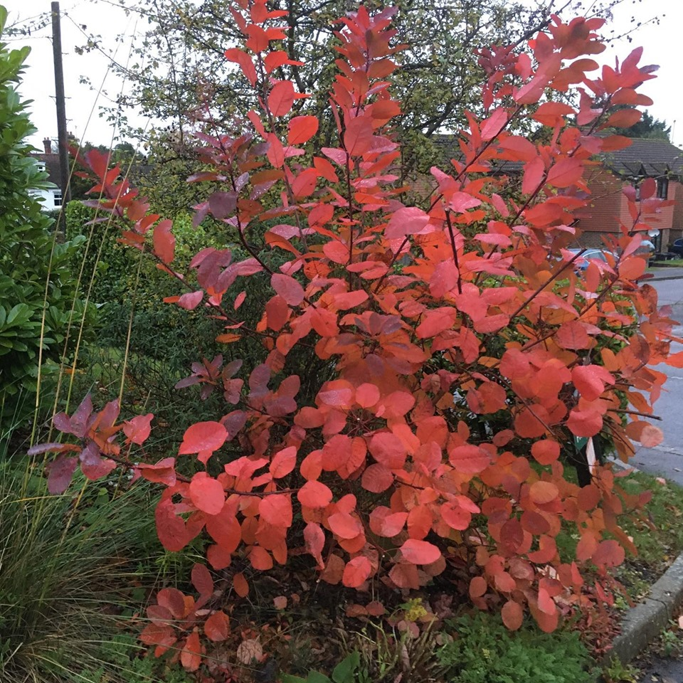 Cotinus Grace on a grey day